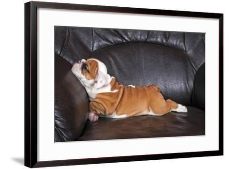 English Bulldog Puppy Relaxing on Black Leather Sofa.- B Stefanov-Framed Art Print