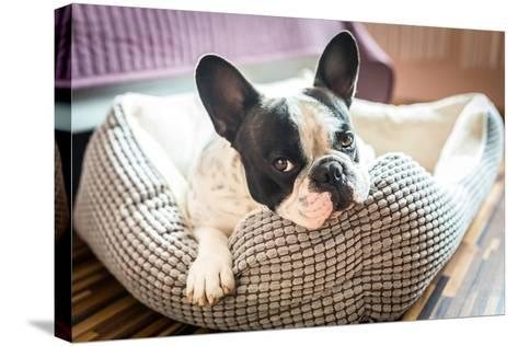 Adorable French Bulldog on the Lair-Patryk Kosmider-Stretched Canvas Print
