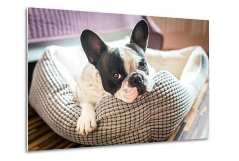 Adorable French Bulldog on the Lair-Patryk Kosmider-Metal Print