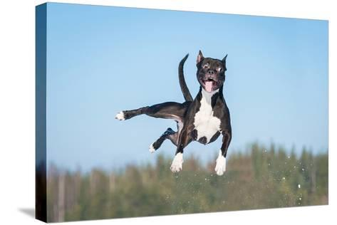 Funny American Staffordshire Terrier Dog with Crazy Eyes Flying in the Air-Grigorita Ko-Stretched Canvas Print