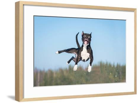 Funny American Staffordshire Terrier Dog with Crazy Eyes Flying in the Air-Grigorita Ko-Framed Art Print
