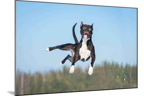 Funny American Staffordshire Terrier Dog with Crazy Eyes Flying in the Air-Grigorita Ko-Mounted Photographic Print