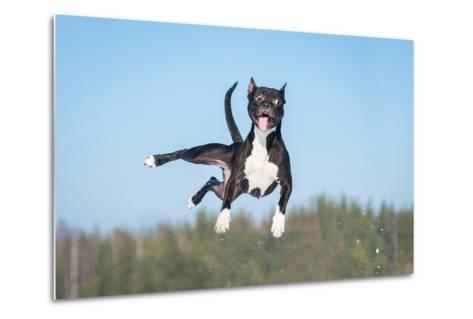 Funny American Staffordshire Terrier Dog with Crazy Eyes Flying in the Air-Grigorita Ko-Metal Print