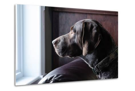 A German Short Haired Pointer Hunting Dog Looking outside through a Window in Rich Brown Tones-Lost Mountain Studio-Metal Print