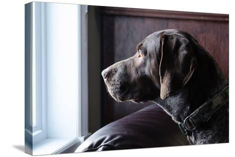 A German Short Haired Pointer Hunting Dog Looking outside through a Window in Rich Brown Tones-Lost Mountain Studio-Stretched Canvas Print