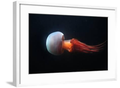 Flame Jellyfish (Rhopilema Esculentum). Wildlife Animal.-Vladimir Wrangel-Framed Art Print