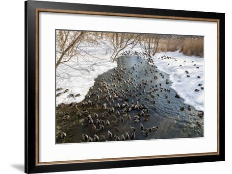 Large Amounts of Ducks in the Winter in a Stream-MikeCphoto-Framed Art Print