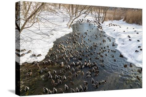 Large Amounts of Ducks in the Winter in a Stream-MikeCphoto-Stretched Canvas Print