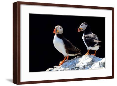 Atlantic Puffins, Farne Islands Nature Reserve, England-Attila JANDI-Framed Art Print