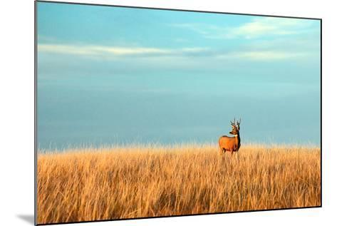A Mule Deer Buck Stands in a Tall Bed of Grass and Looks into the Autumn Sun on the Great Plains.-Todd Klassy-Mounted Photographic Print