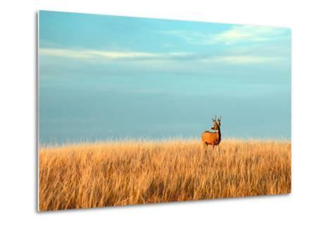 A Mule Deer Buck Stands in a Tall Bed of Grass and Looks into the Autumn Sun on the Great Plains.-Todd Klassy-Metal Print