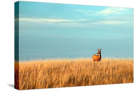 A Mule Deer Buck Stands in a Tall Bed of Grass and Looks into the Autumn Sun on the Great Plains.-Todd Klassy-Stretched Canvas Print