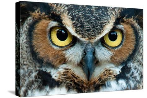Great Horned Owl Staring with Golden Eyes- jadimages-Stretched Canvas Print