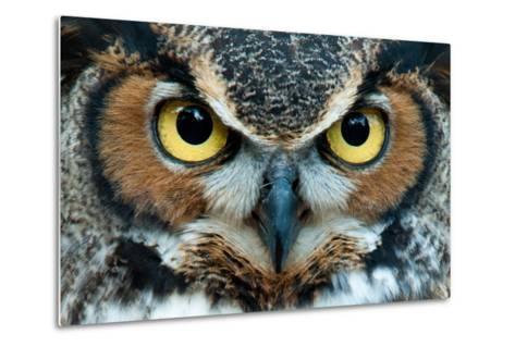 Great Horned Owl Staring with Golden Eyes- jadimages-Metal Print