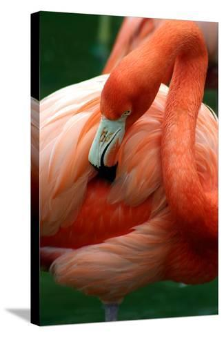 A Pink Flamingo Grooming Herself at Sea World, Orlando, Florida-Bo Vilmos Widerberg-Stretched Canvas Print