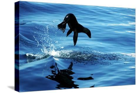 Juvenile Sea Lion in Rare Pose mid Air on the Sea of Cortez- Mavrick-Stretched Canvas Print