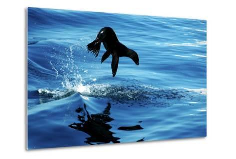 Juvenile Sea Lion in Rare Pose mid Air on the Sea of Cortez- Mavrick-Metal Print