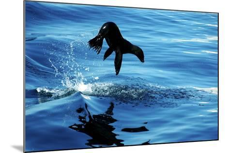 Juvenile Sea Lion in Rare Pose mid Air on the Sea of Cortez- Mavrick-Mounted Photographic Print