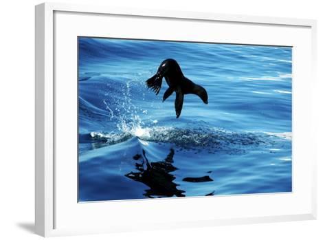 Juvenile Sea Lion in Rare Pose mid Air on the Sea of Cortez- Mavrick-Framed Art Print