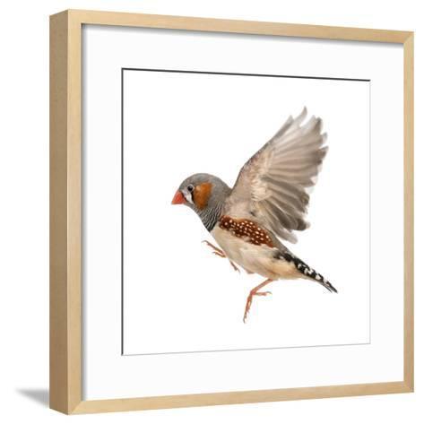 Zebra Finch Flying, Taeniopygia Guttata, against White Background-Eric Isselee-Framed Art Print