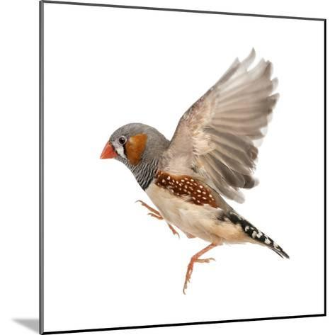 Zebra Finch Flying, Taeniopygia Guttata, against White Background-Eric Isselee-Mounted Photographic Print