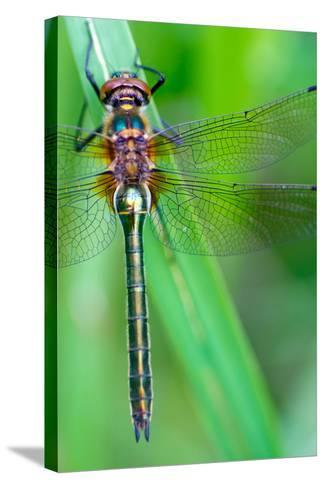 A Dragonfly (Cordulia Aenea) Warming its Wings in the Early Morning Sun- corlaffra-Stretched Canvas Print