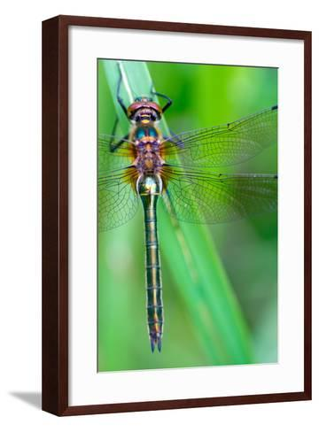 A Dragonfly (Cordulia Aenea) Warming its Wings in the Early Morning Sun- corlaffra-Framed Art Print