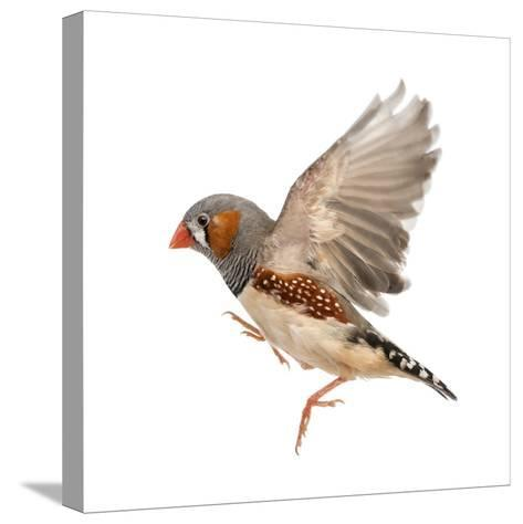 Zebra Finch Flying, Taeniopygia Guttata, against White Background-Eric Isselee-Stretched Canvas Print