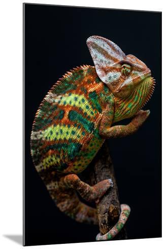 Yemen Chameleon-arturasker-Mounted Photographic Print