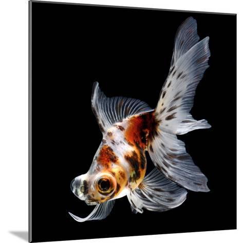 Goldfish Isolated on Black Background- bluehand-Mounted Photographic Print
