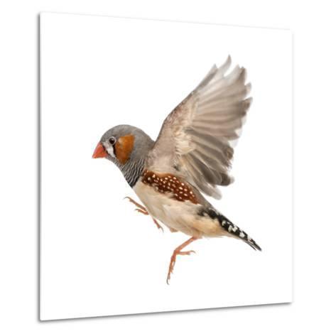 Zebra Finch Flying, Taeniopygia Guttata, against White Background-Eric Isselee-Metal Print