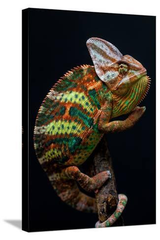 Yemen Chameleon-arturasker-Stretched Canvas Print