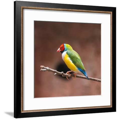Beautiful Gouldian Finch- tratong-Framed Art Print