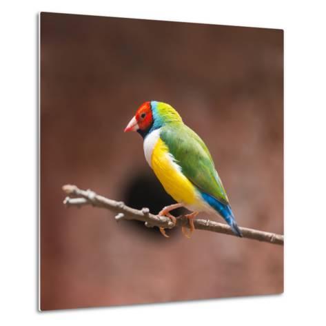 Beautiful Gouldian Finch- tratong-Metal Print