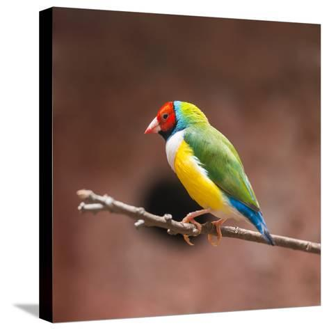 Beautiful Gouldian Finch- tratong-Stretched Canvas Print