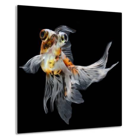 Goldfish Isolated on Black Background- bluehand-Metal Print