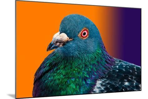 Pigeon close up Portrait Isolated in Color Gradient-Altin Osmanaj-Mounted Photographic Print