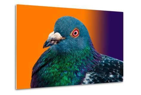 Pigeon close up Portrait Isolated in Color Gradient-Altin Osmanaj-Metal Print