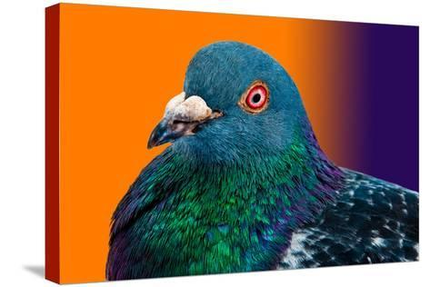 Pigeon close up Portrait Isolated in Color Gradient-Altin Osmanaj-Stretched Canvas Print