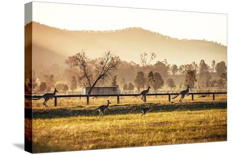Group of Australian Kangaroos at Hunter Valley, Australia-Andrey Bayda-Stretched Canvas Print