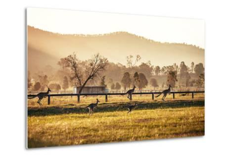 Group of Australian Kangaroos at Hunter Valley, Australia-Andrey Bayda-Metal Print
