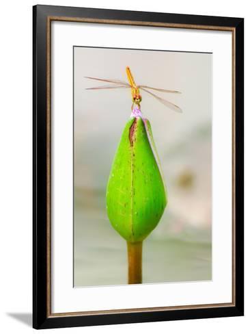 Lotus Flower Dragonfly-Here Asia-Framed Art Print