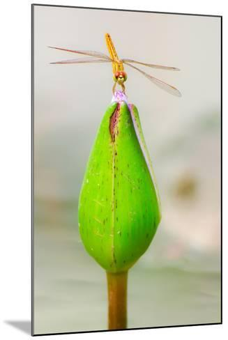 Lotus Flower Dragonfly-Here Asia-Mounted Photographic Print