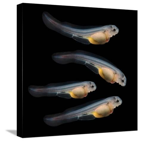 Sturgeon Fingerling 9Days Old 10Mm Sized. the Sterlet (Acipenser Ruthenus).-Kletr-Stretched Canvas Print
