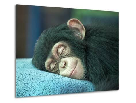 Chimpanzee Sleeping-apple2499-Metal Print