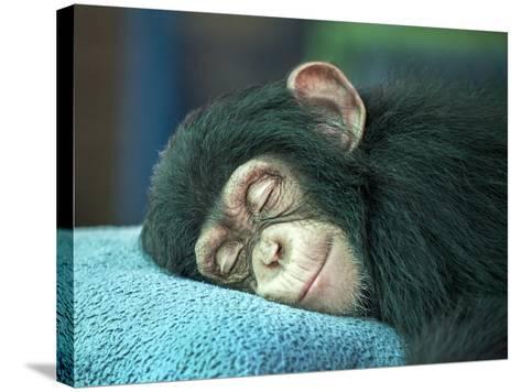 Chimpanzee Sleeping-apple2499-Stretched Canvas Print