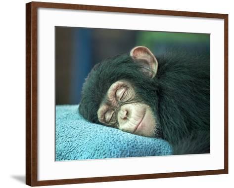 Chimpanzee Sleeping-apple2499-Framed Art Print
