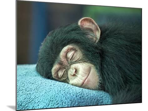 Chimpanzee Sleeping-apple2499-Mounted Photographic Print