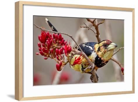 Crested Barbet, South Africa-Arnoud Quanjer-Framed Art Print