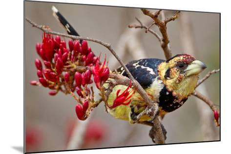 Crested Barbet, South Africa-Arnoud Quanjer-Mounted Photographic Print